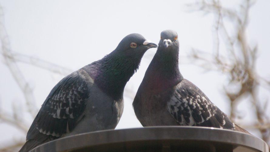 ハト対策 鳩退治